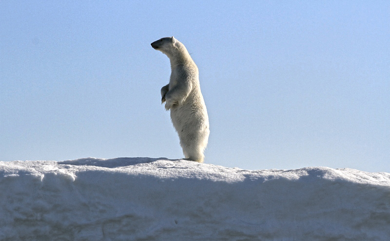 Cutest polar bear ever